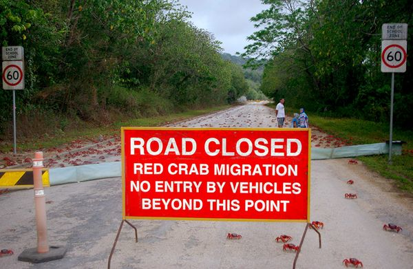 The Amazing World : The Christmas Island Red Crab ( Largest Migration of Crab), Christmas Island ...
