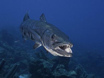 Q Significa Shark Great Barracuda