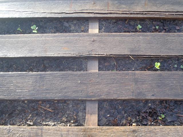 Pallet Garden cabbage