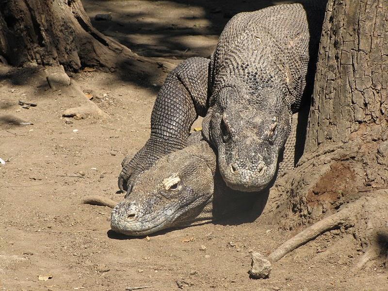Komodo dragons matins