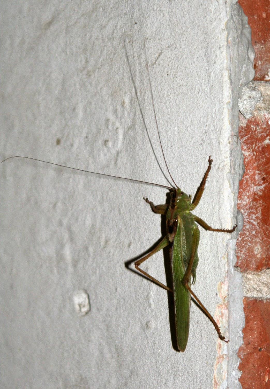 Massive locust
