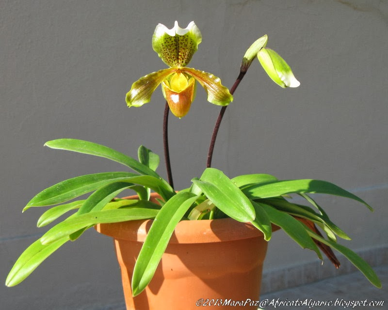 Madeira orchid