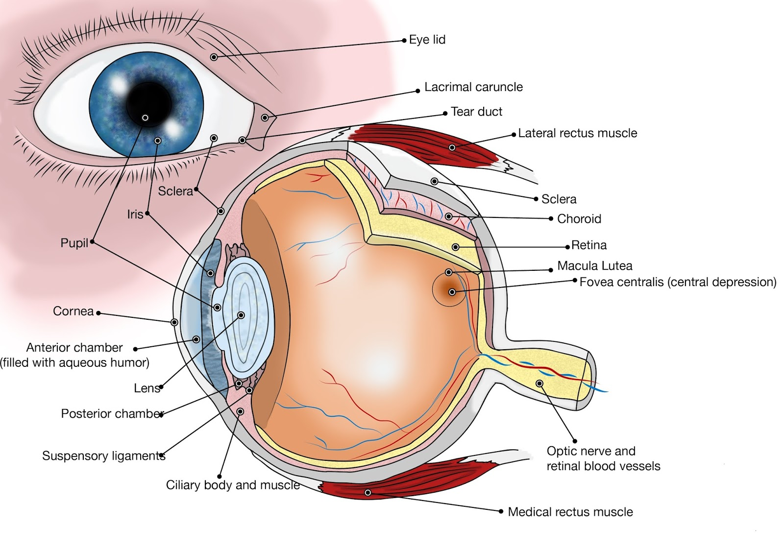 How Amazing our body is: Eye, Vision Organ