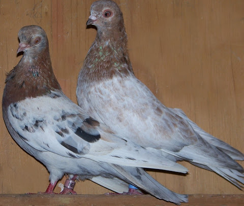Minha criação de pombas