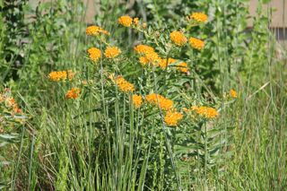 photo of butterfly-weed (orange mildweed) in bloom