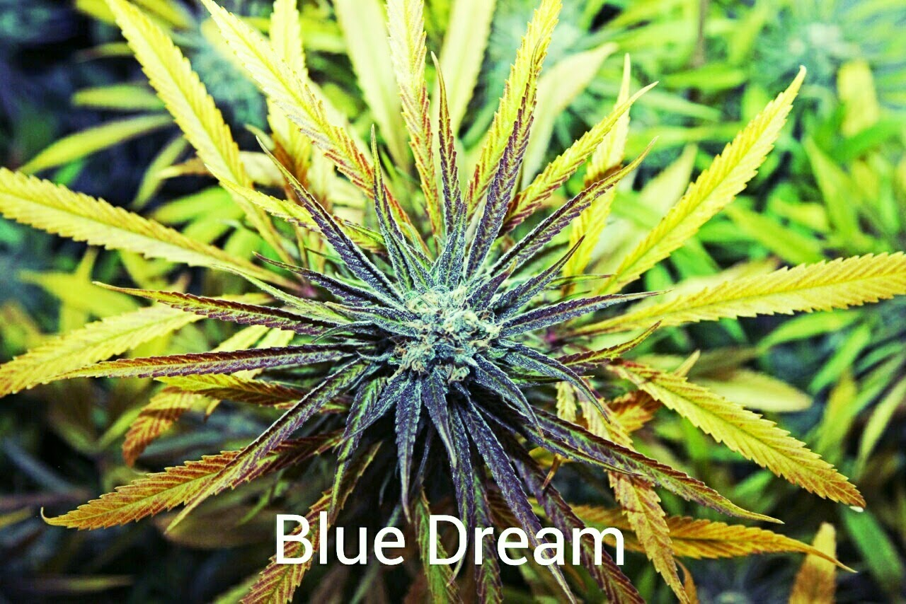 Blue Dream