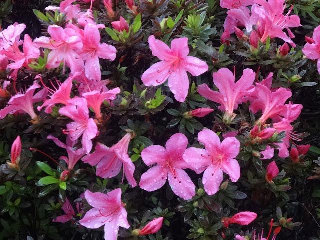 雨,花,新宿〈著作権フリー無料画像〉Free Stock Photos