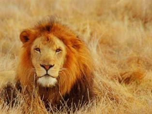 LION AT WORK!