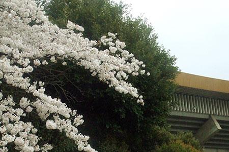 武道館と桜