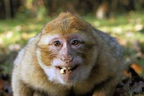 Monyet Macaque senyum