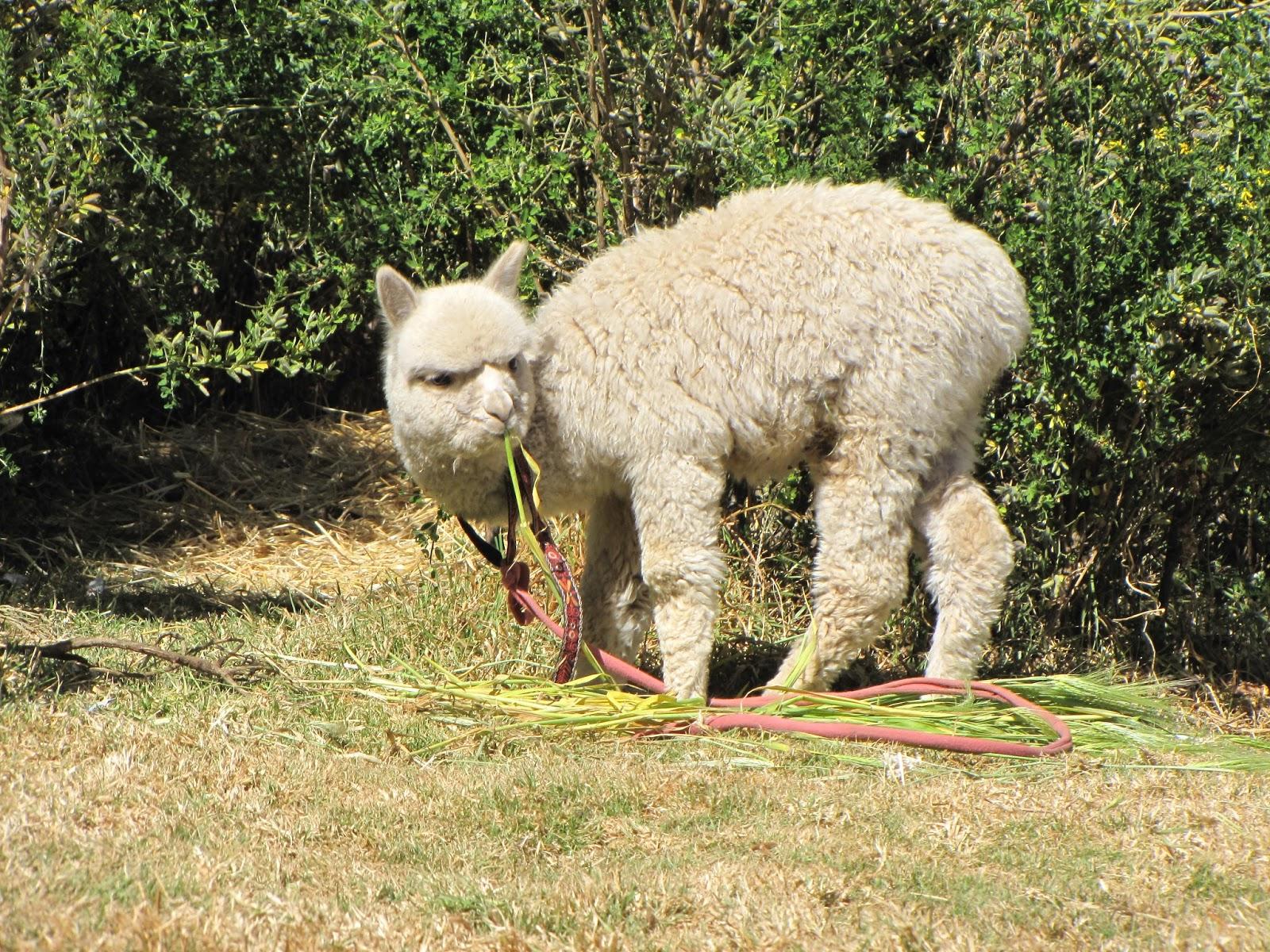 Angelic Nostalgia: In the spotlight: Alpacasso