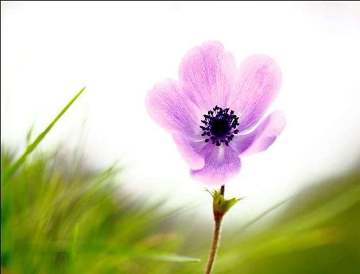 Anemonia.4