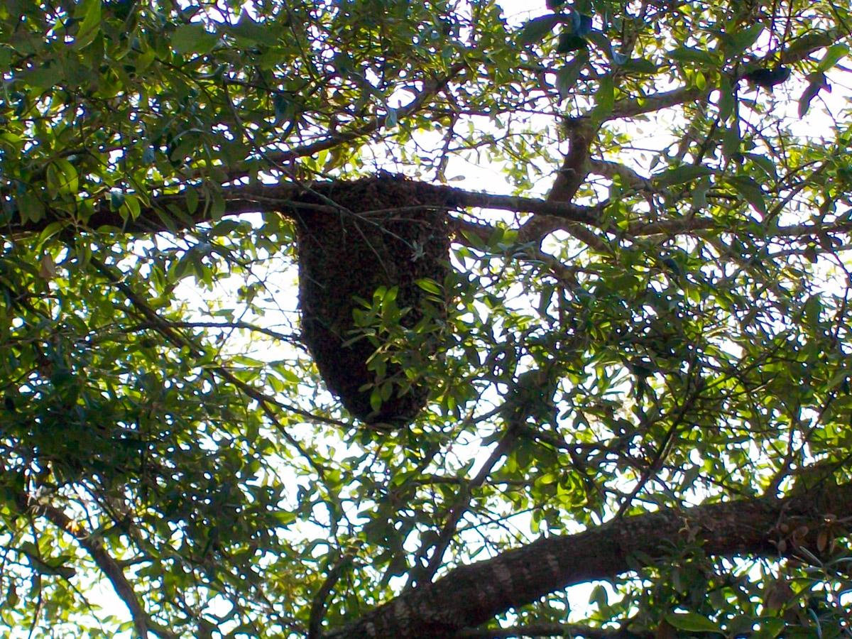 Honey bees nest in tree - photo#2