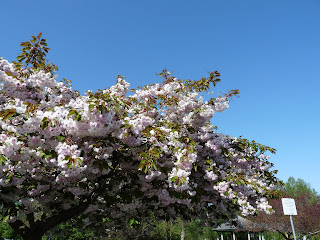 Cherry blossom tree Sequim May