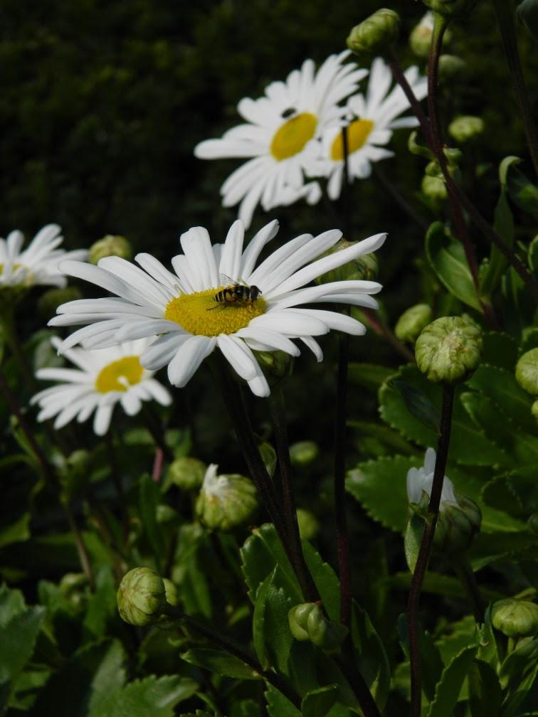 Nipponanthemum nipponicum Nippon daisy Toronto Botanical Garden by garden muses-not another Toronto gardening blog
