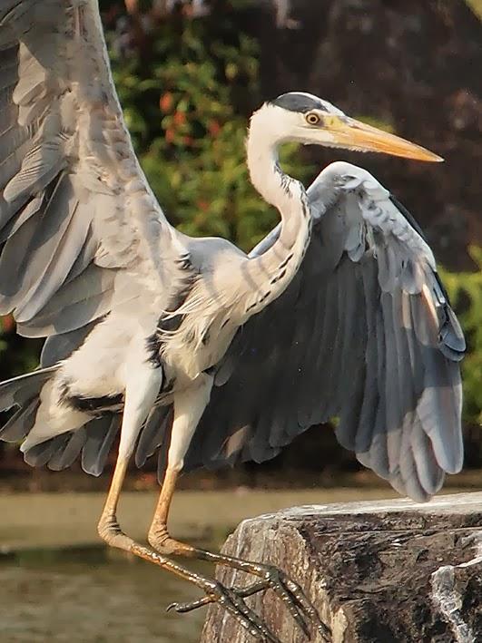 Heron landing - Japanese Garden, Jurong East