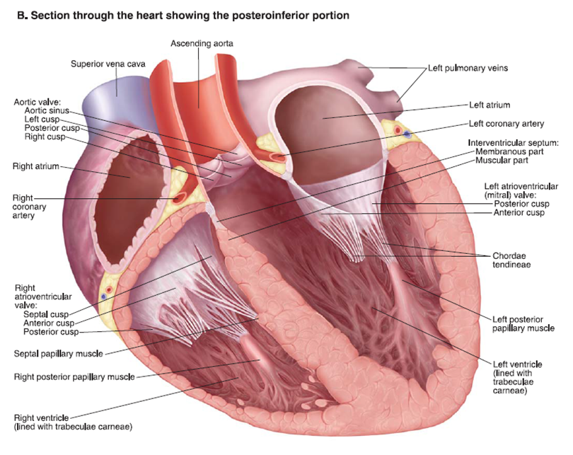 Heart Anatomy - Free Medical Slides