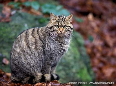 el gato montes sus costumbres presas registro fosil Felis silvestris