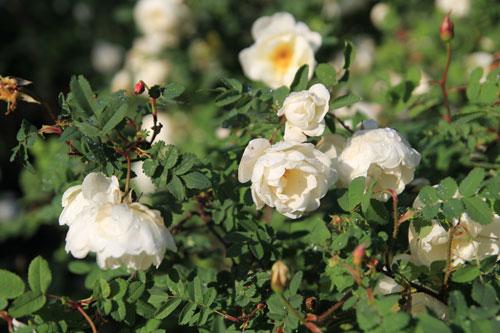 Juhannus ruusu kukassa