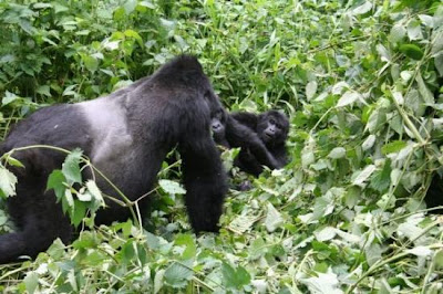 mountain gorillas in bwindi uganda