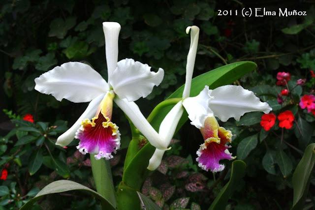 Orquideas de Moyobamba - Cattleya Rex