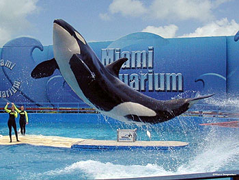 Miami Seaquarium - Aquário Baleia