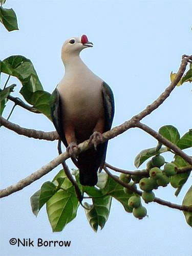 Red knobbed imperial pigeon Ducula rubricera