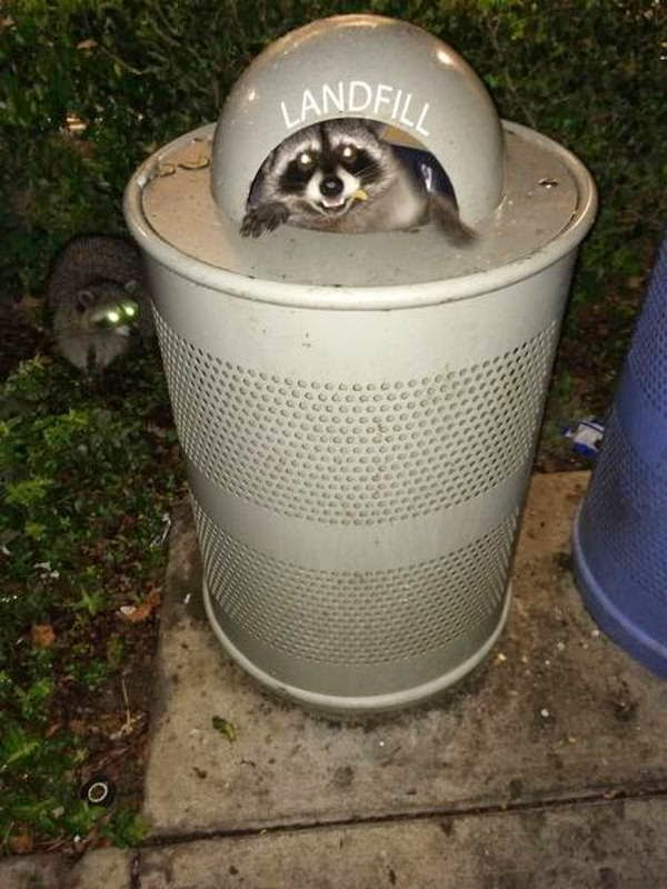 Funny animals of the week - 5 April 2014 (40 pics), raccoon in trash bin