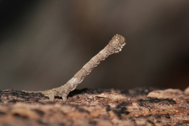 camouflaged inchworm - geometrid caterpillar in the winter