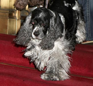 Oprah - cocker spaniels - Sadie - Celebrity Pet Worth