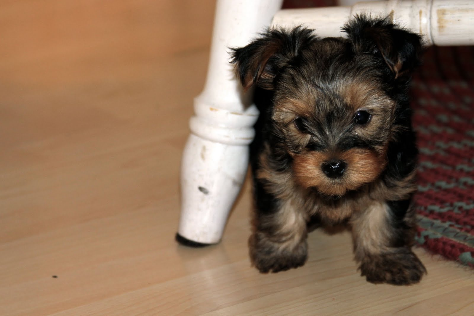 how to cut yorkie dew claws