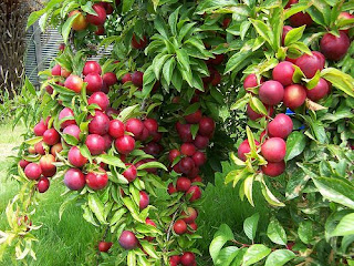 Apple tree image from www.a1earth.com