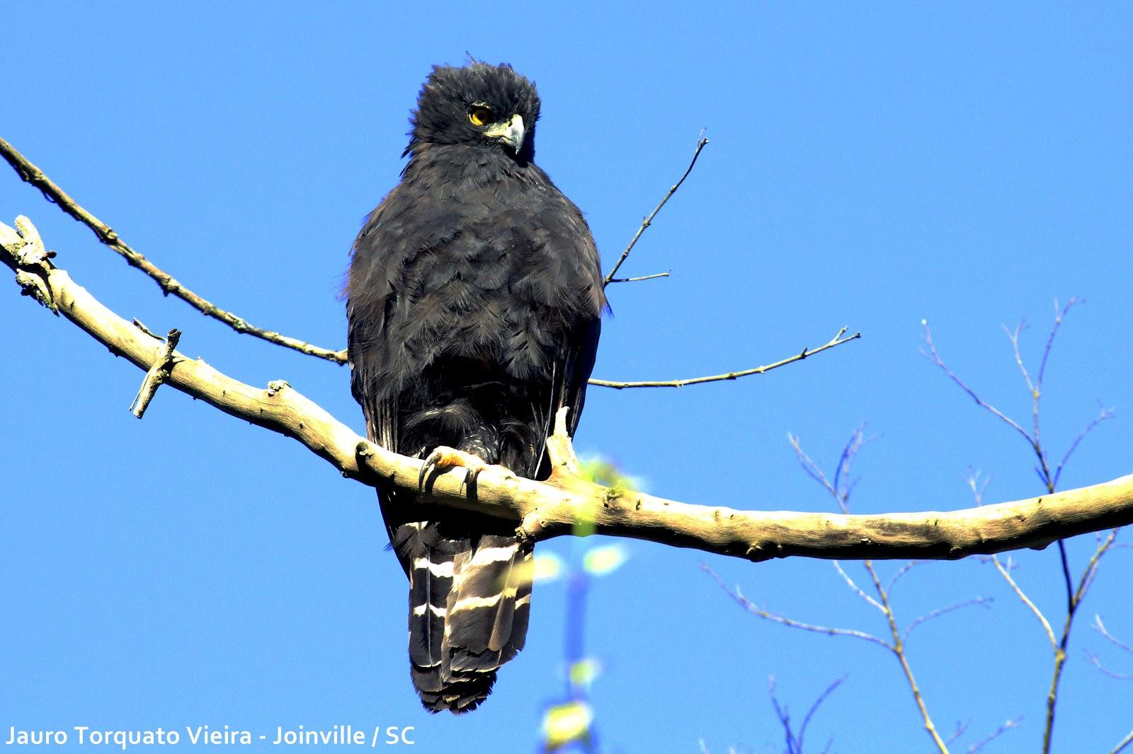 Falconiformes. Família  Acciptridae - Subfamília Buteonidade- Gaviões de penacho. genêro SPIZAETUS Pega+macaco