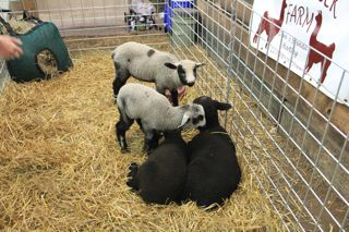 photo of lambs in a pen