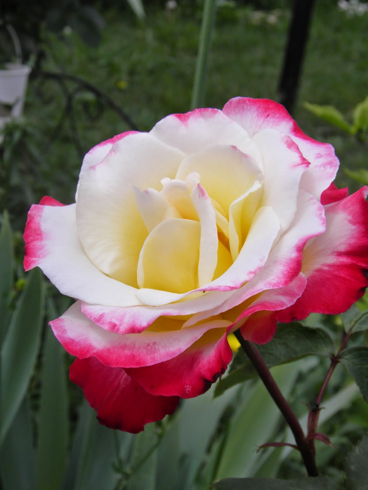 Rosier 'Double delight'
