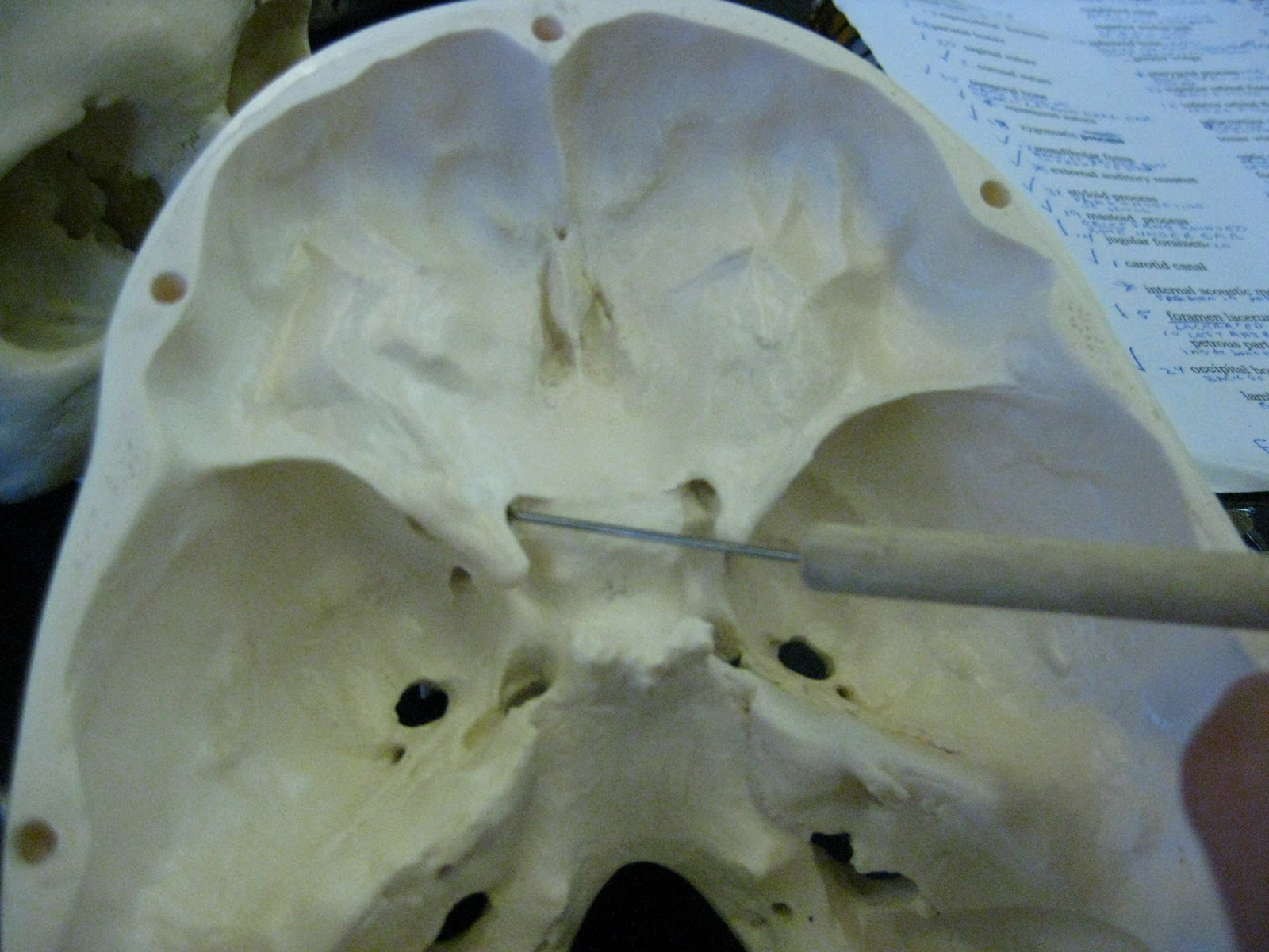 boned: human skull - optic canals (of sphenoid bone), Human Body
