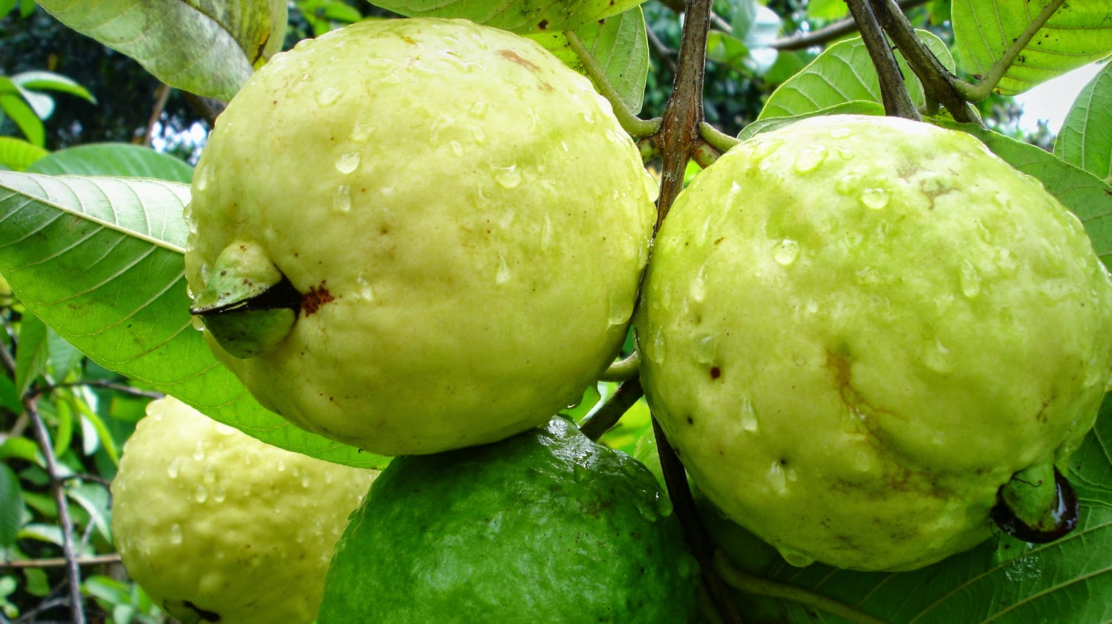 111120121027-jambu-biji-guava.jpg