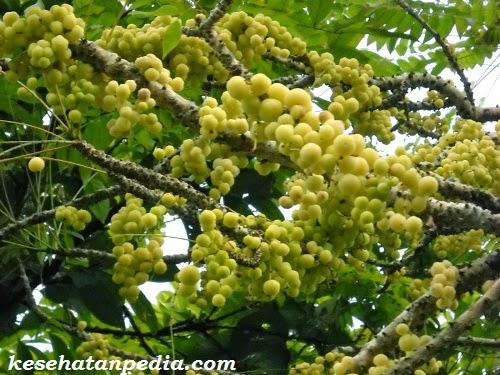 manfaat daun dan bunga cermai