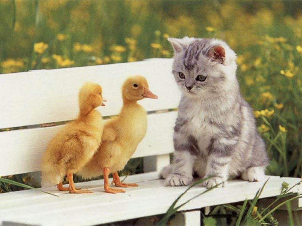 Funny Duck pictures for widescreen |Funny Animal