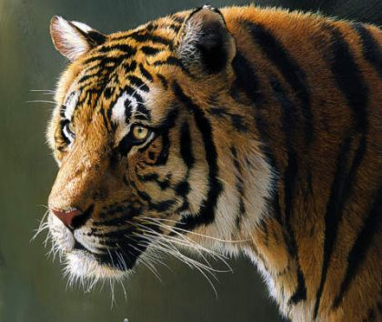 project tiger What is the current state of project tiger the indian strategy of project tiger since 1972 to focus on tiger source areas in the form of 'core areas' thus stands.