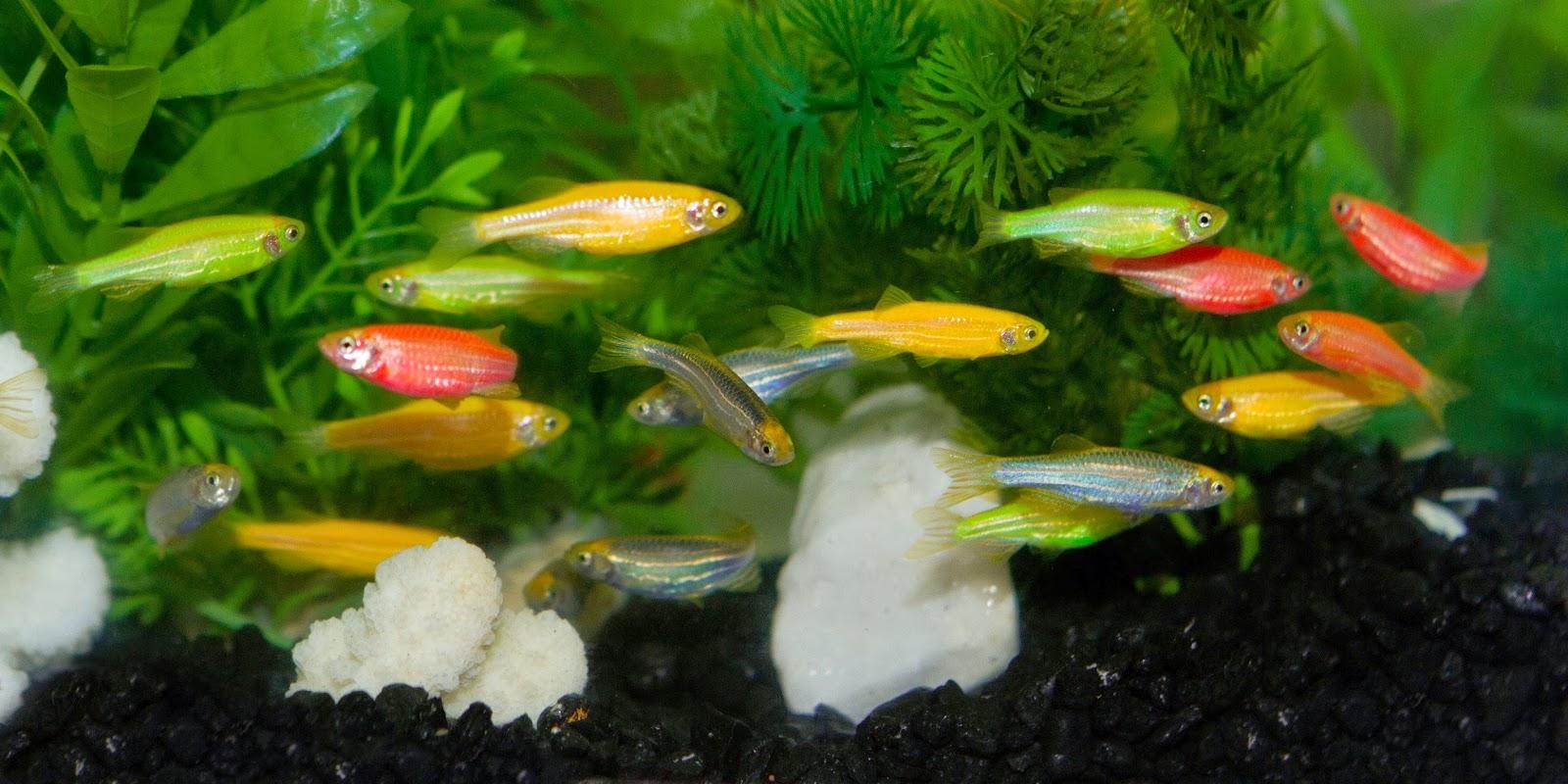Peces transg nicos for Criadero de peces de colores