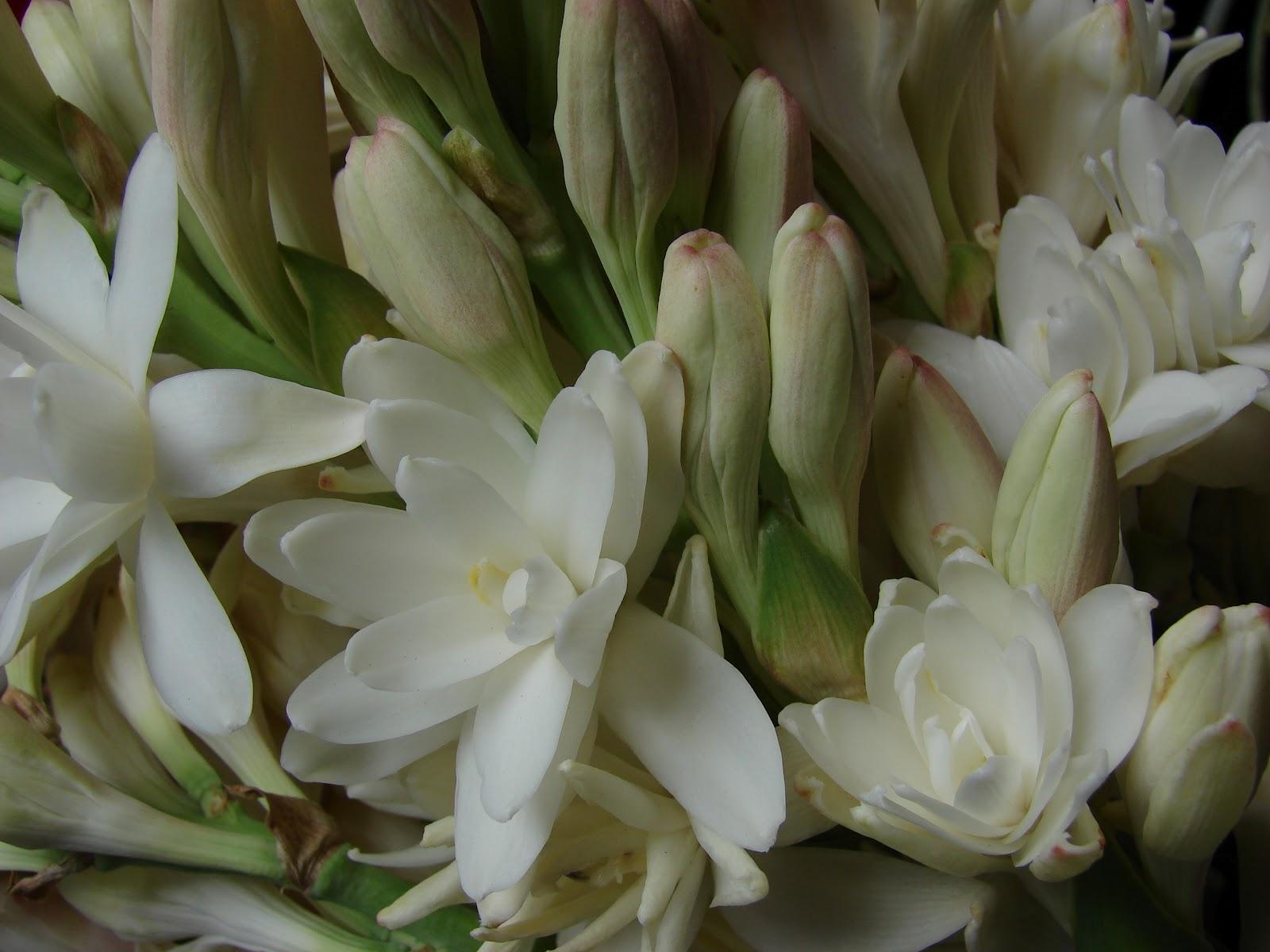 Casaflorida: Nardos, unas flores bellas y olorosas