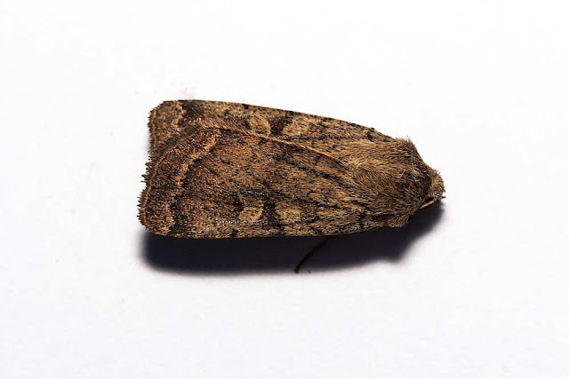 I think a Square-spot Rustic but very different from the classic one below.