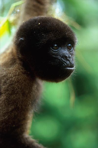 woolly spider monkey