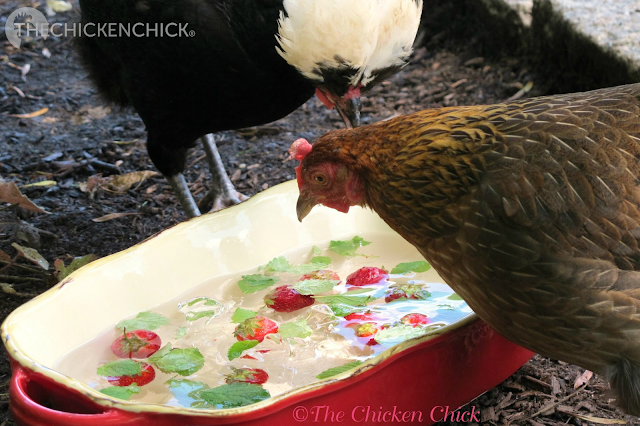 As a general rule, avoid giving chickens treats when it's hot outside so as not to promote increased internal body temperatures from digestion. An exception is frozen fruit and vegetables (blueberries, strawberries, corn, squash, etc.) that can help cool and hydrate them. Watermelon is particularly helpful towards this end.