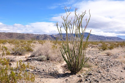 Ocotillo in the Colorado Desert