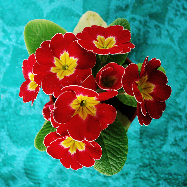 pink red primroses on turquoise blanket