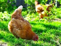 É certo comer ovos de galinhas agora livres, que a gente resgatou e cuida?