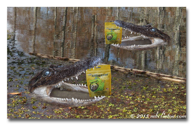 two alligators with treats in their mouths