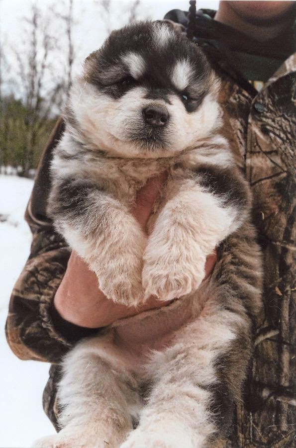 White Wolf : 15 Chubby Alaskan Malamute Puppies That Will ...